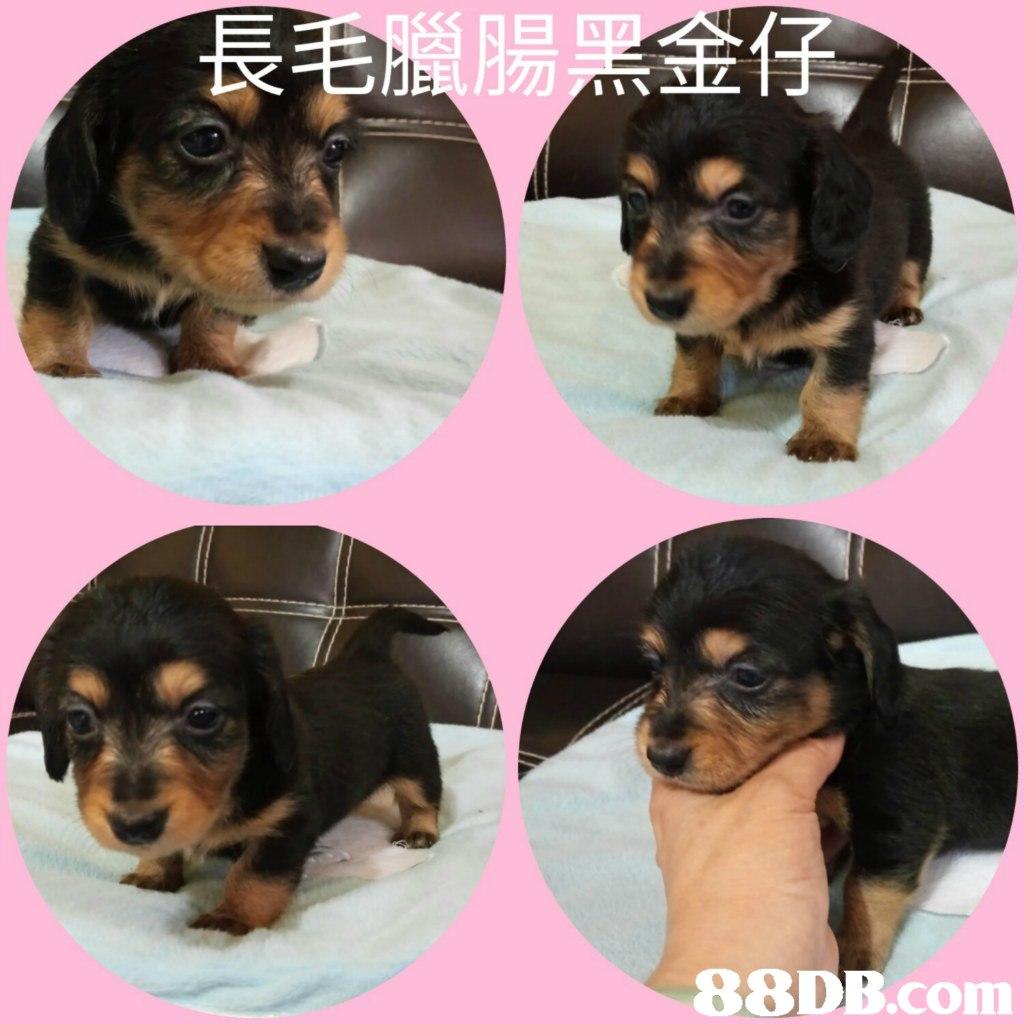 长   dog,dog like mammal,dog breed,mammal,vertebrate