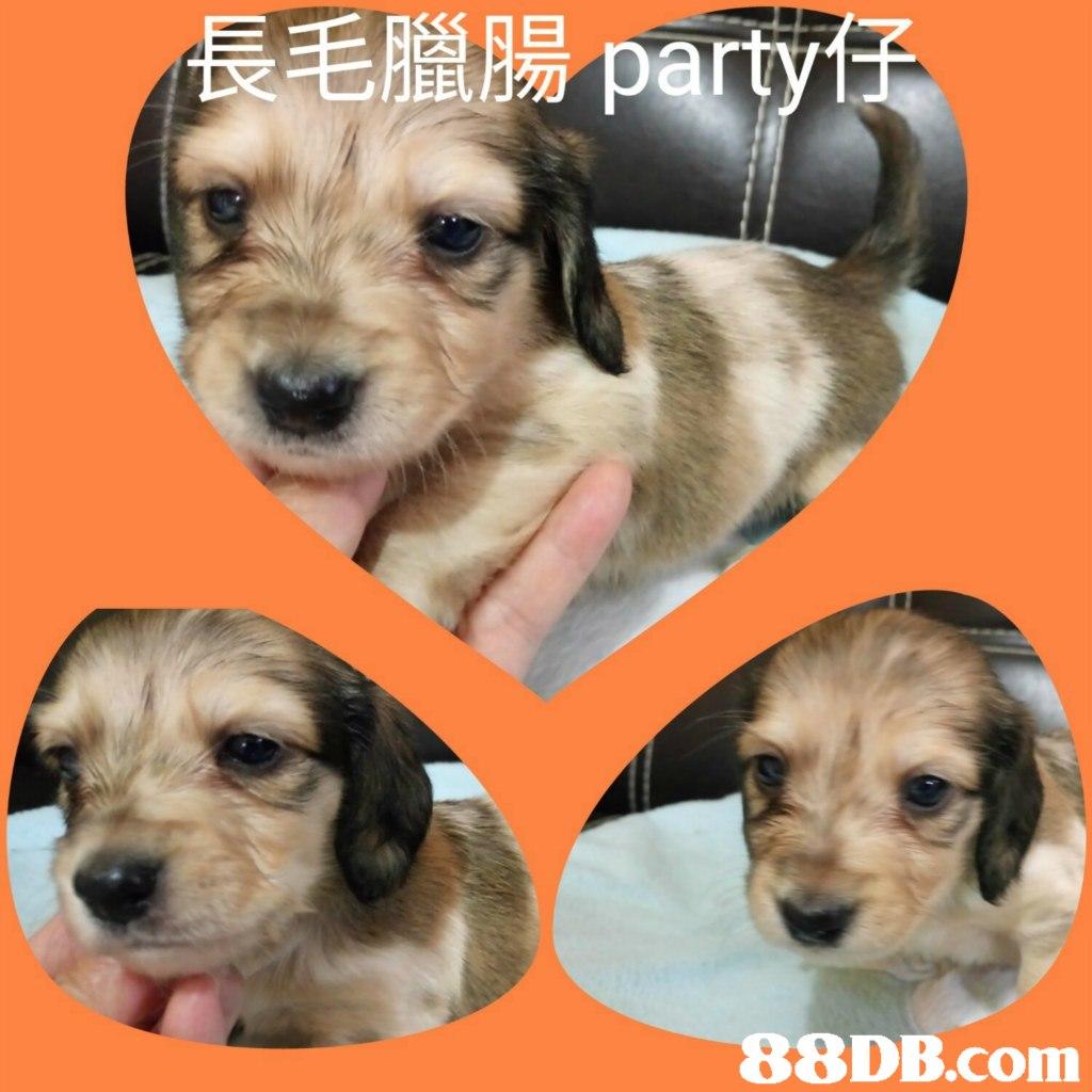 長毛臘腸party   dog,dog like mammal,dog breed,puppy,snout