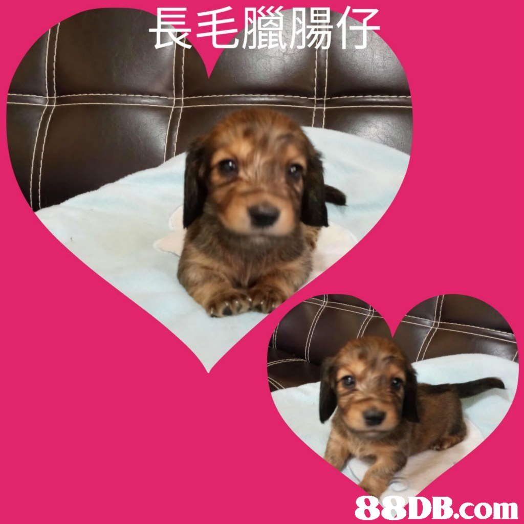 長毛臘腸仔   dog,dog like mammal,dog breed,puppy,snout