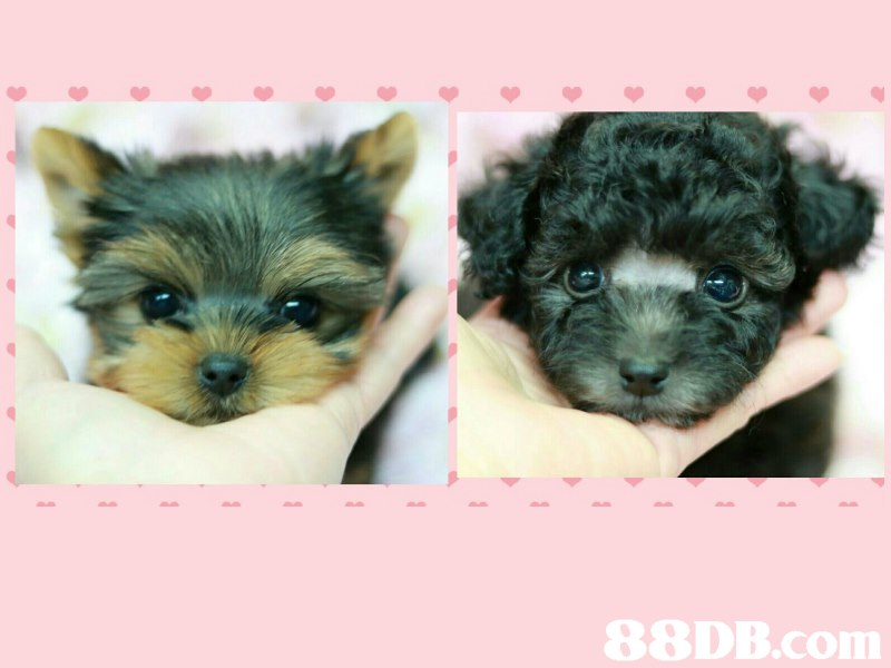 dog,dog like mammal,dog breed,mammal,puppy