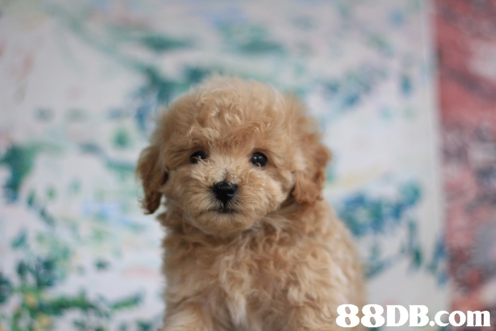 Ci 88DB.com  dog like mammal,dog,dog breed,miniature poodle,mammal