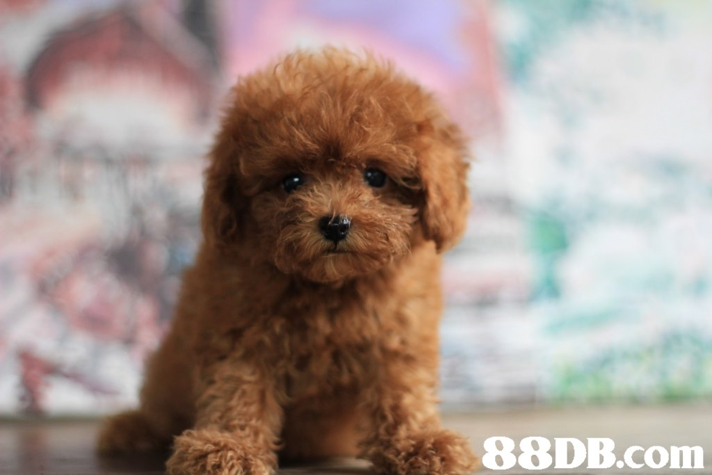 88DB.com  dog like mammal,dog breed,dog,miniature poodle,toy poodle