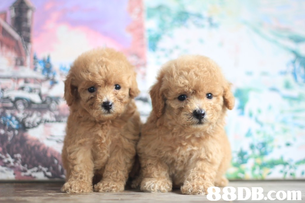 8DB.com  dog,dog like mammal,dog breed,mammal,miniature poodle