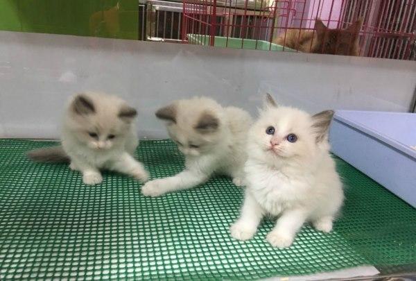歡迎光臨菲菲寵物營 - 經營布偶,曼基貓,金吉拉,豹貓,英國短毛,摺耳,英國長毛, 異國短毛 ,自家繁殖以及七天健康保障