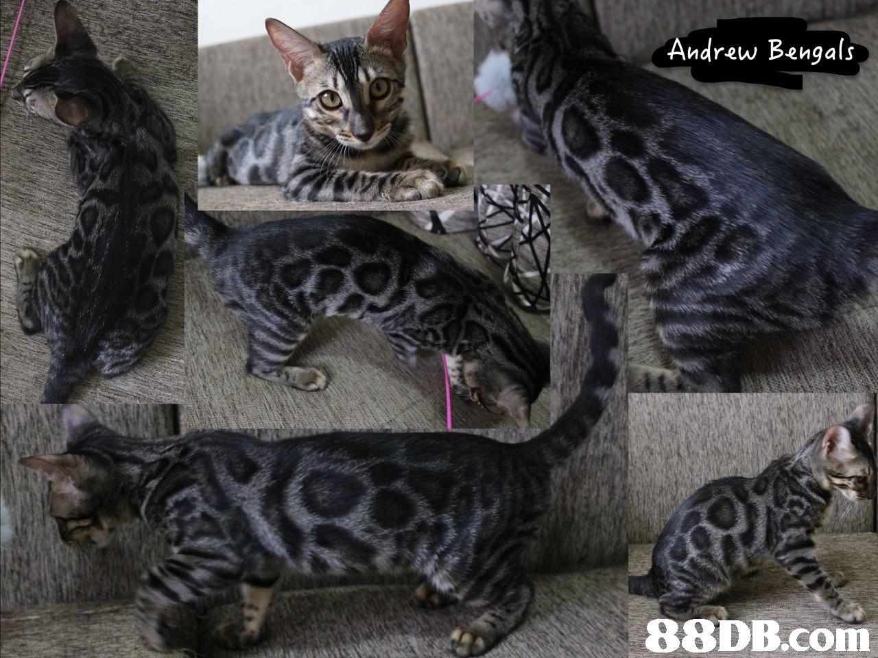 Andrew Bengals,cat,mammal,small to medium sized cats,cat like mammal,vertebrate