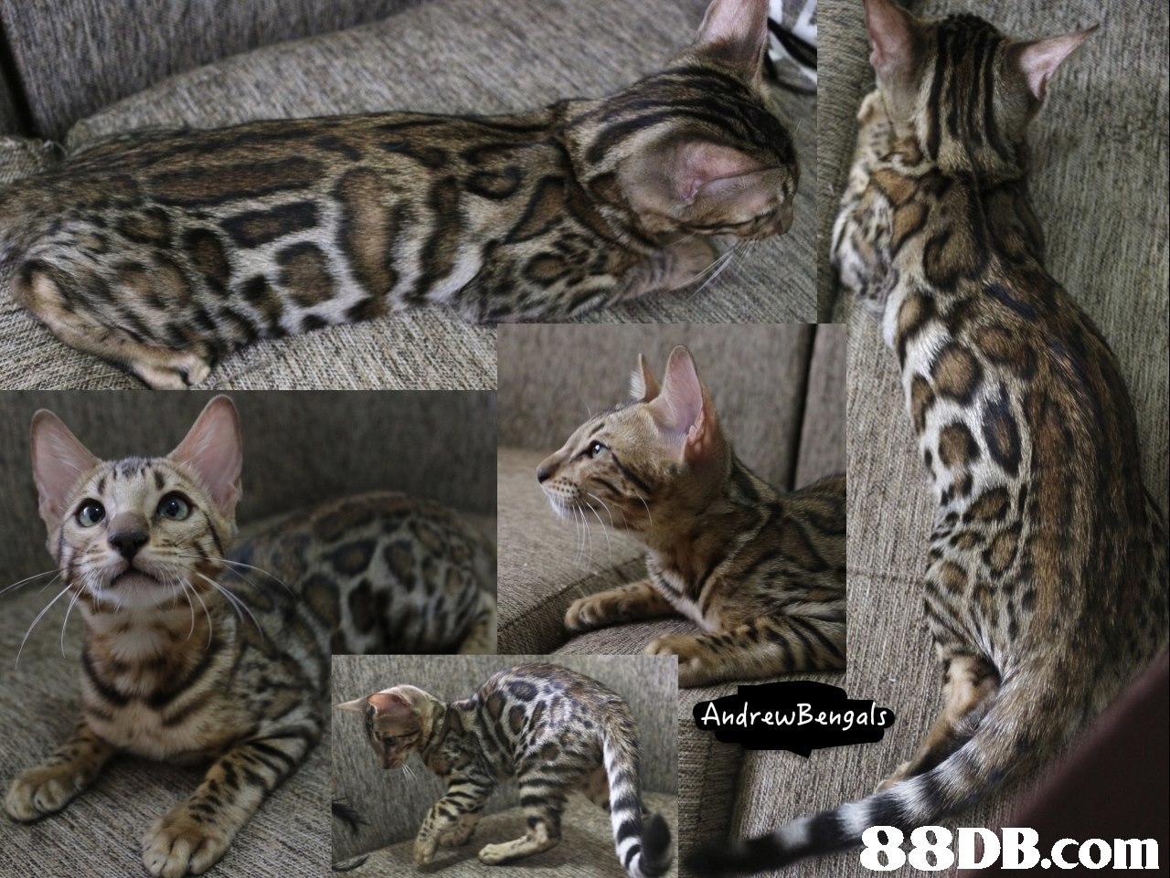 AndrewBengals,cat,mammal,small to medium sized cats,cat like mammal,dragon li