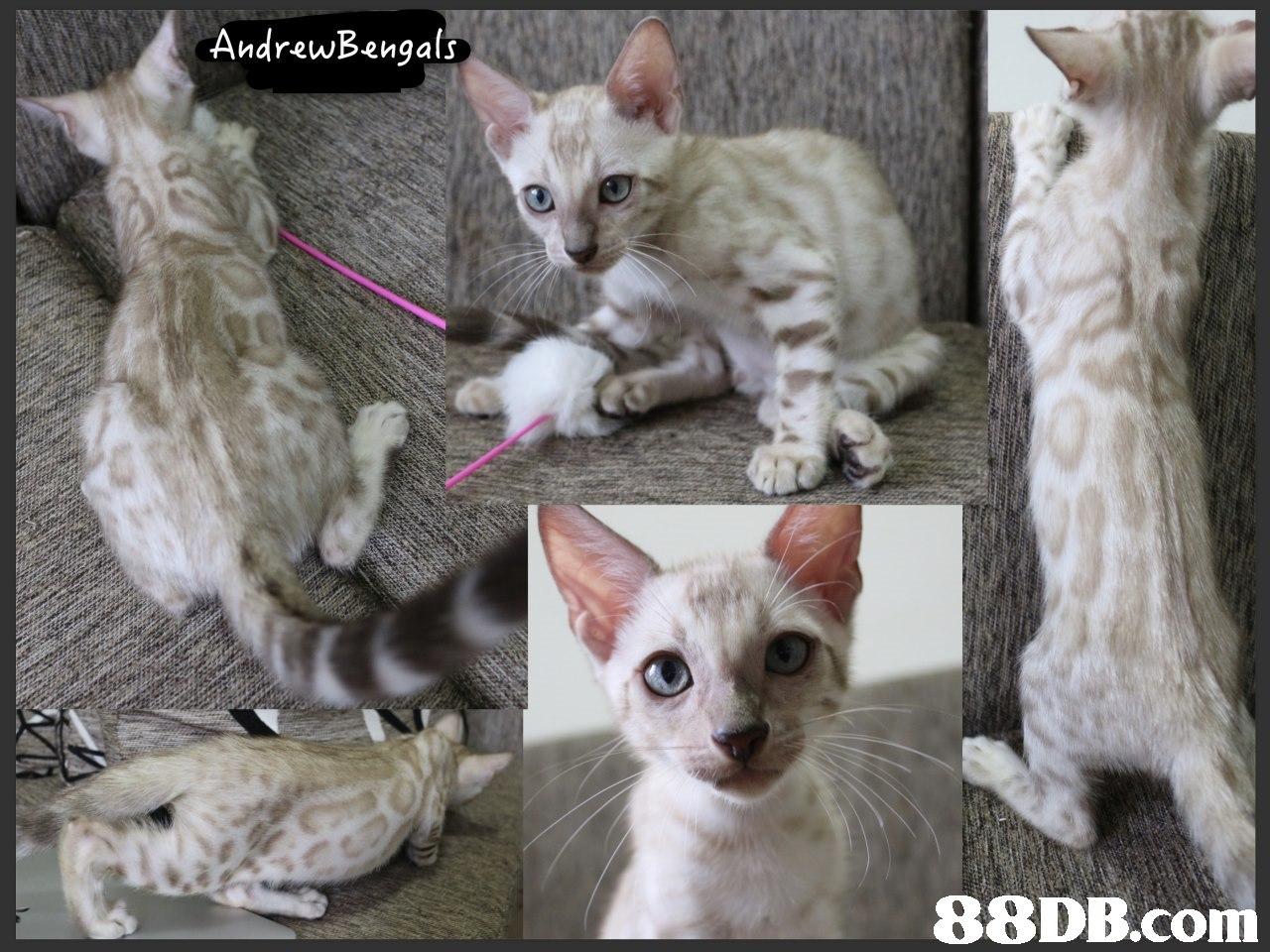 AndrewBengals,cat,small to medium sized cats,cat like mammal,fauna,devon rex