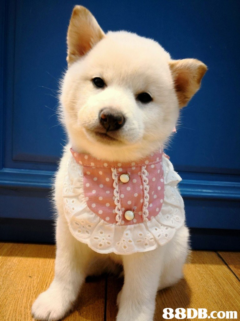 dog,dog like mammal,dog breed,dog breed group,shiba inu