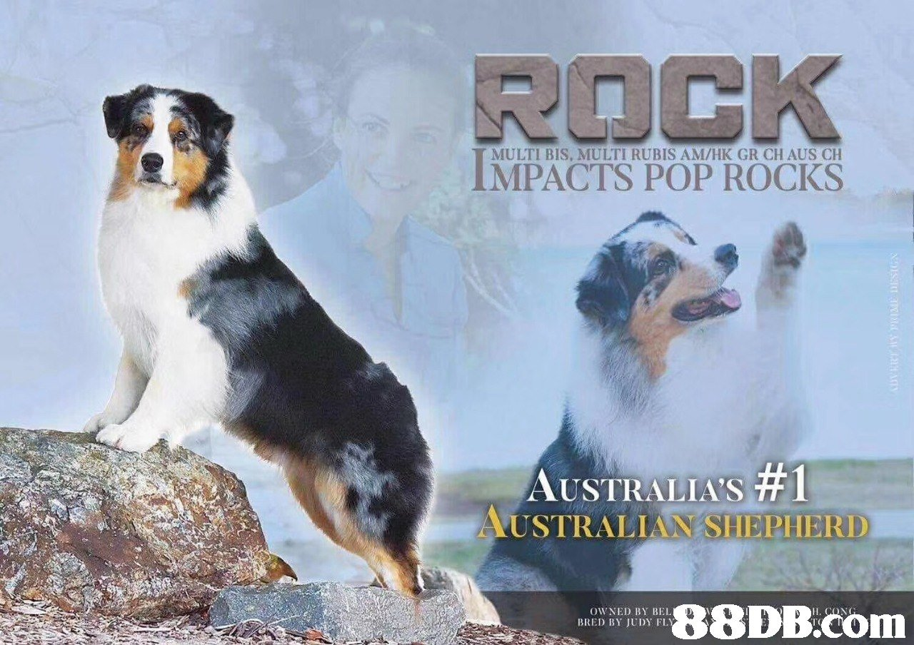 MULTI BIS, MULTI RUBIS AM/HK GR CH AUS CH IMPACTS POP ROCKS AUSTRALIA'S #1 USTRALIAİ ISI IERI IERD 8DB.com OWNED BY BEL,Dog,Vertebrate,Dog breed,Canidae,Mammal