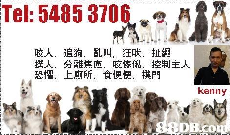 Tel: 5485 3706 咬人, 撲人, 恐懼, 追狗,亂叫,狂吠,扯繩 分離焦慮,咬傢俬,控制主人 上廁所,食便便,撲門 kenny  dog,dog like mammal,dog breed,fur,spaniel
