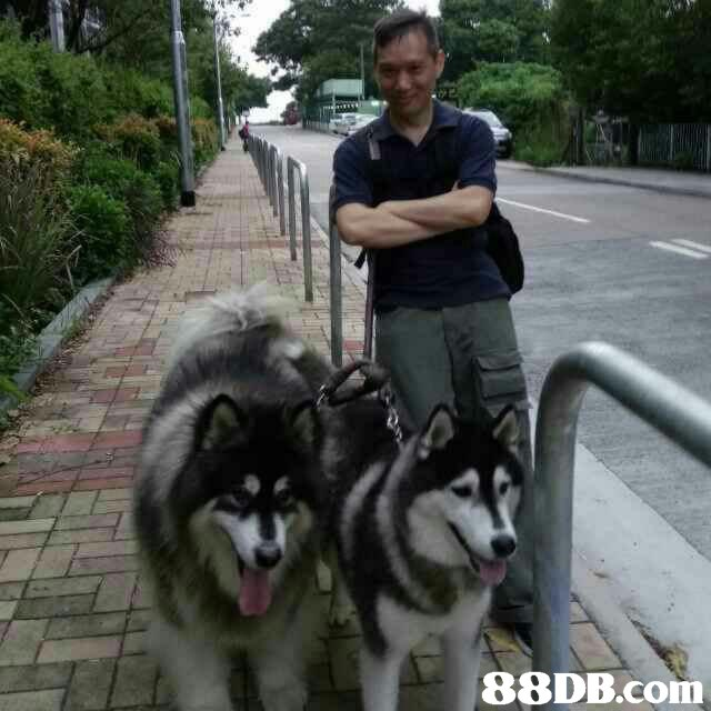 dog like mammal,alaskan malamute,dog,mammal,dog breed