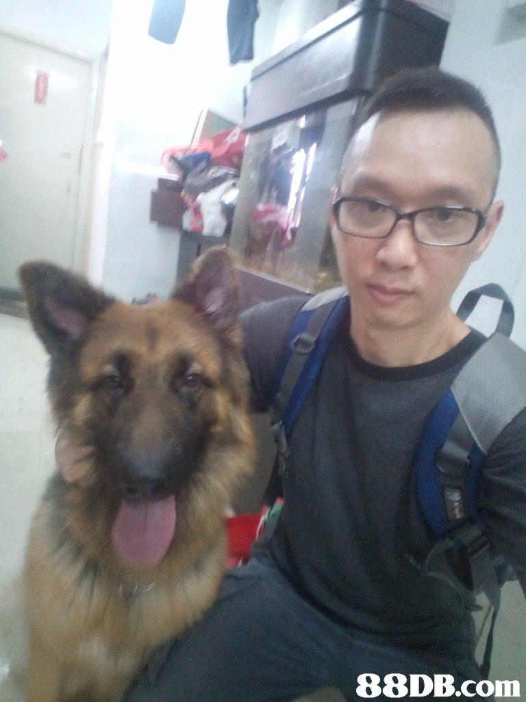 dog,german shepherd dog,dog like mammal,dog breed,dog breed group
