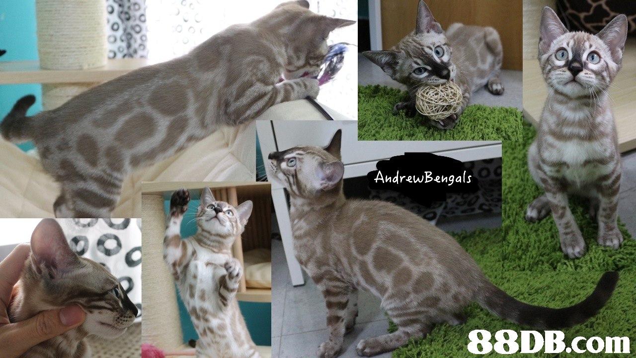 AndrewBengals   cat,fauna,mammal,small to medium sized cats,cat like mammal