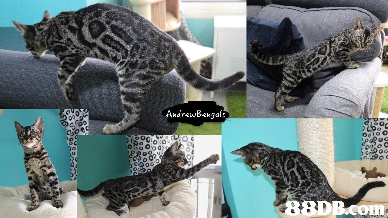 AndrewBengals 0 BDB.com  cat,fauna,mammal,small to medium sized cats,cat like mammal