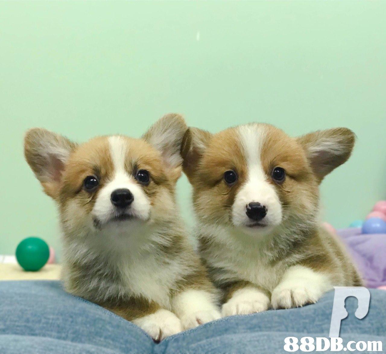 88DB.com  dog,dog like mammal,welsh corgi,dog breed,mammal
