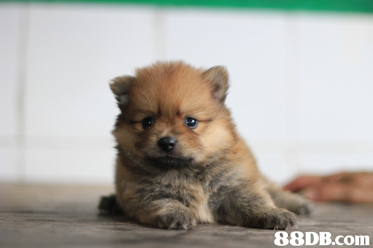 88DB.com  dog,dog like mammal,german spitz,pomeranian,dog breed