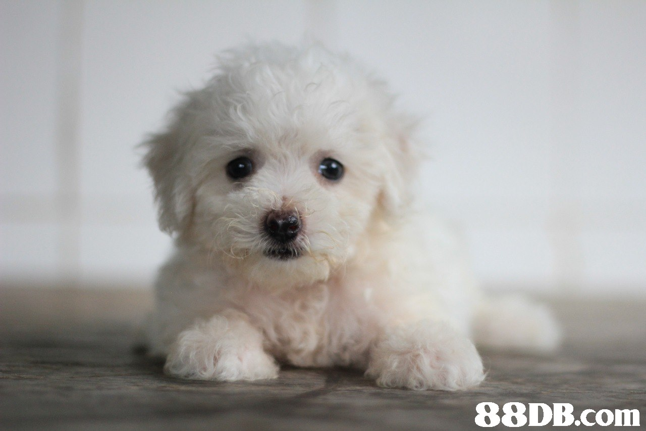 88DB.com  dog like mammal,dog,dog breed,maltese,mammal