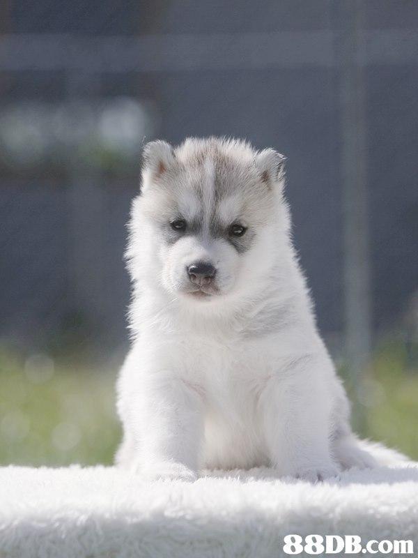 dog like mammal,dog,dog breed,sakhalin husky,siberian husky