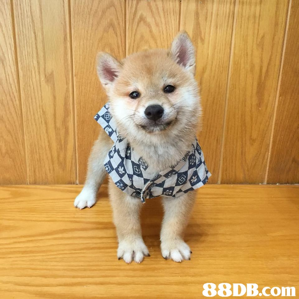 88DB.com  dog,dog like mammal,dog breed,mammal,dog breed group