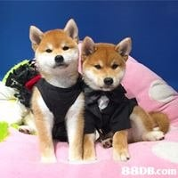 dog,dog like mammal,dog breed,shiba inu,dog breed group