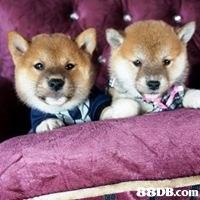 B.com  dog like mammal,dog,dog breed,mammal,dog breed group