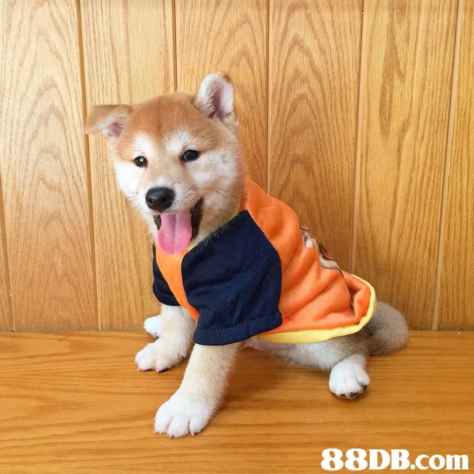 Dog,Mammal,Vertebrate,Canidae,Shiba inu