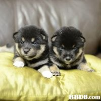 8DB.com  dog,dog like mammal,dog breed,mammal,dog breed group