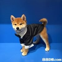 dog,dog like mammal,dog breed,shiba inu,mammal
