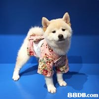 dog like mammal,dog,dog breed,dog breed group,shiba inu