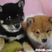 日本進口優質柴犬