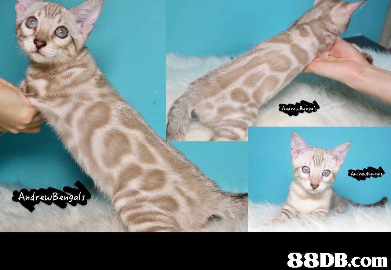 AndrewBengals AndrewBengals AndrewBengals   cat,fauna,mammal,small to medium sized cats,cat like mammal