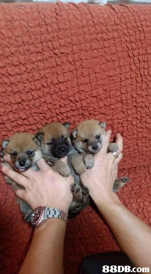 dog,dog like mammal,dog breed,pomeranian,mammal
