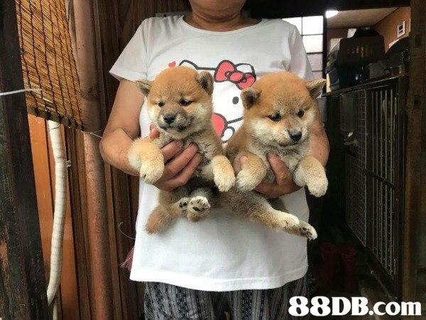 日本進口柴犬