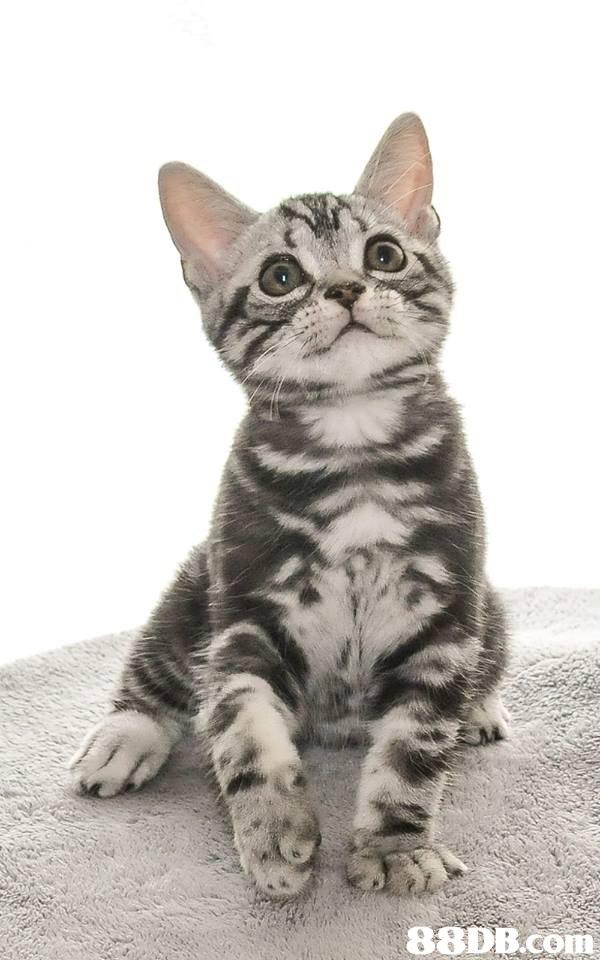 88DB com  cat,dragon li,mammal,small to medium sized cats,cat like mammal