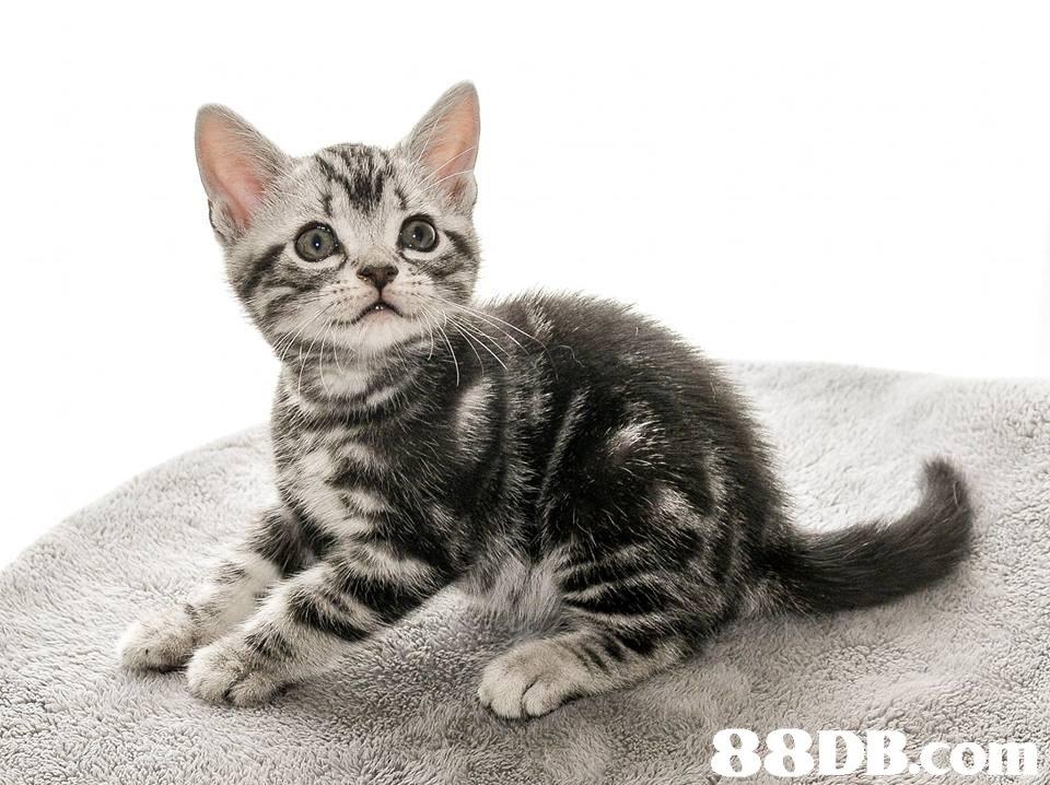 88DB.co  cat,mammal,small to medium sized cats,cat like mammal,vertebrate