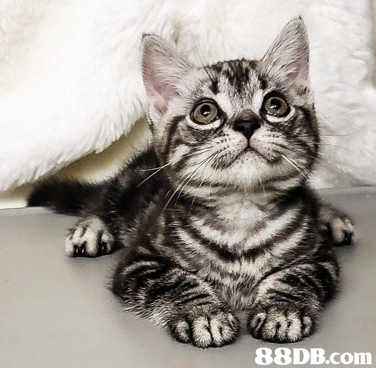 cat,dragon li,whiskers,mammal,small to medium sized cats