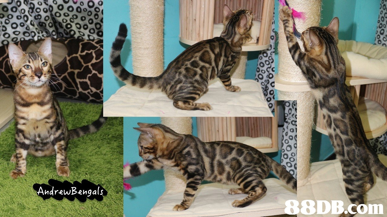 AndrewBengals,cat,fauna,mammal,small to medium sized cats,cat like mammal