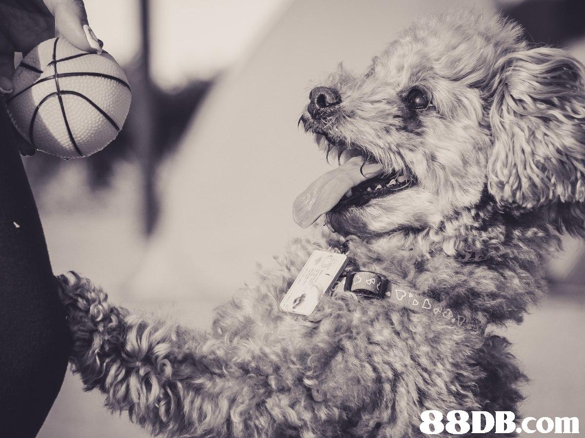 photograph,black and white,dog like mammal,dog,dog breed