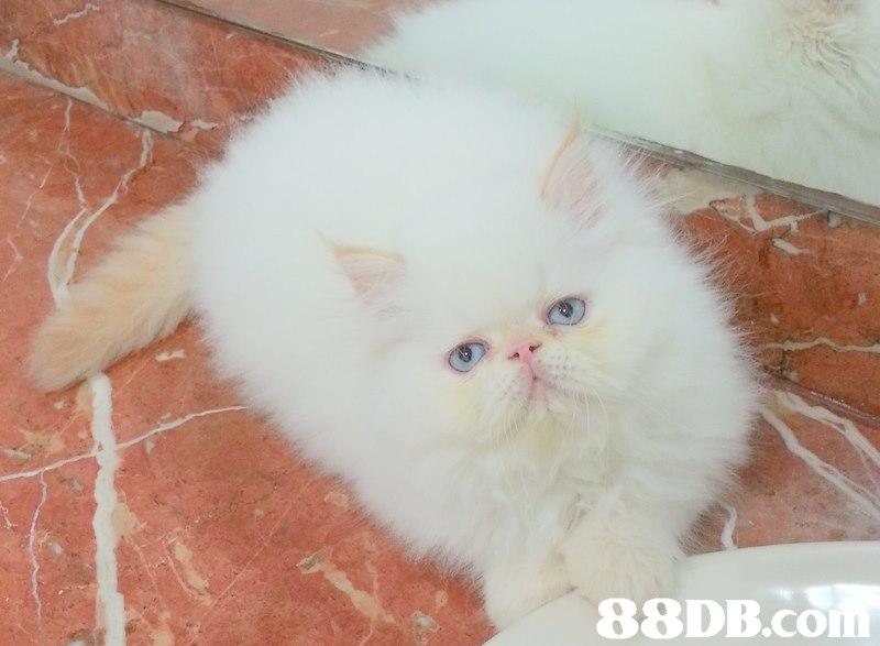 88DB.con  cat,small to medium sized cats,mammal,cat like mammal,vertebrate