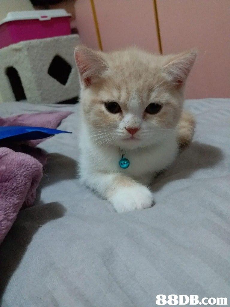 88DB.com  cat,small to medium sized cats,cat like mammal,vertebrate,kitten