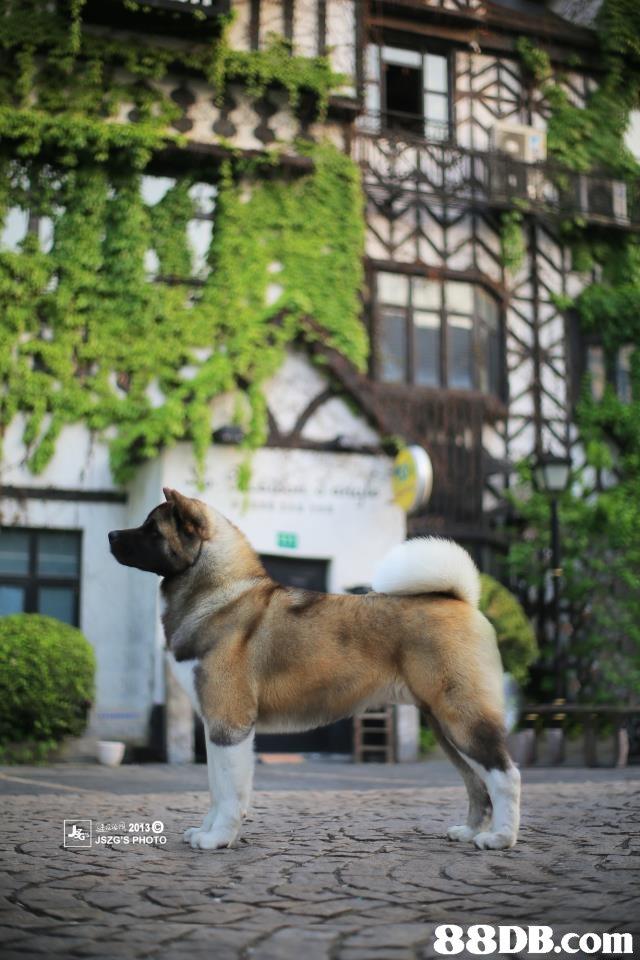 20130 USZG'S PHOTO 88DB.com  dog,dog like mammal,dog breed,dog breed group,akita