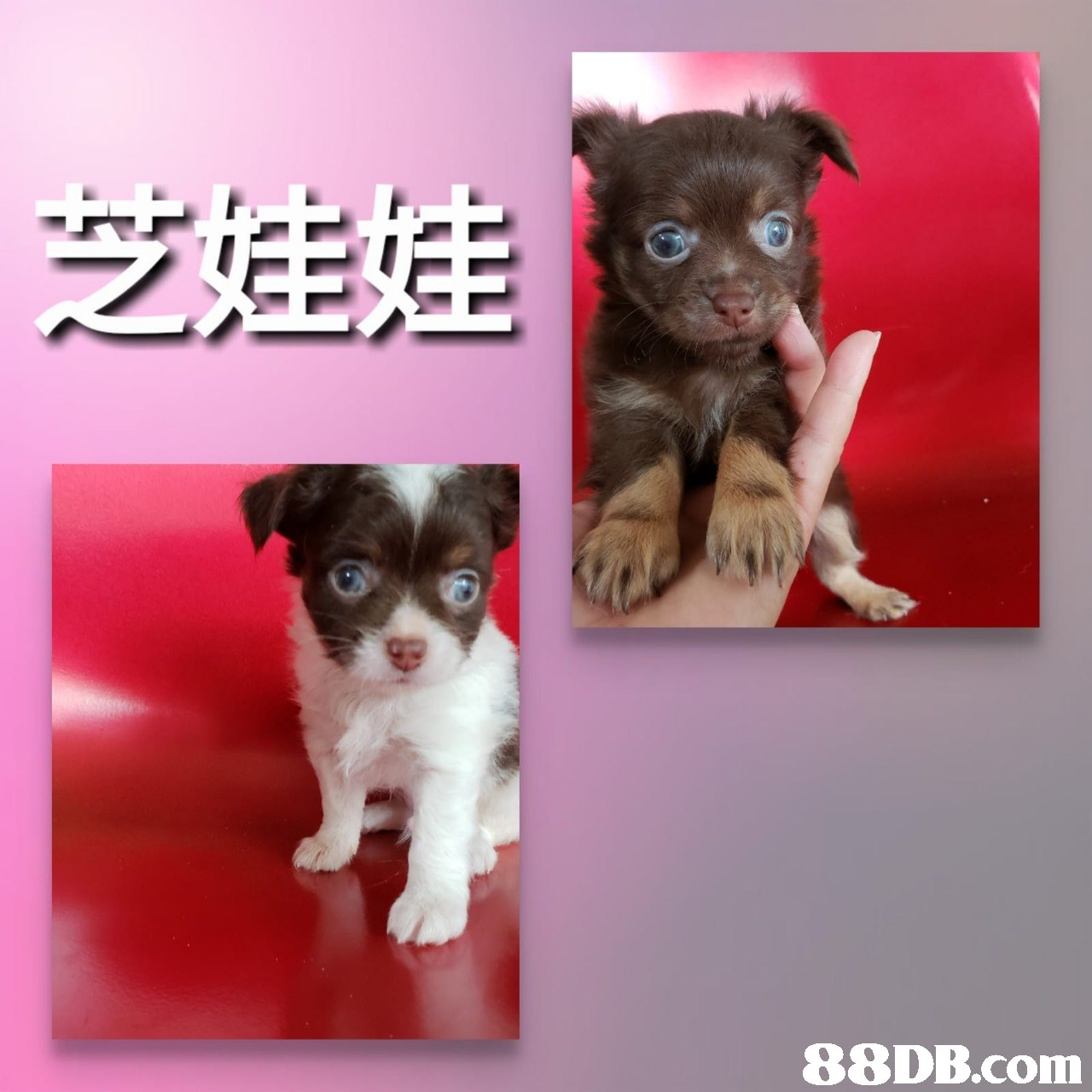 娃娃   dog,dog like mammal,dog breed,mammal,chihuahua