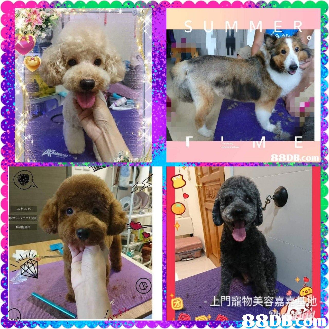 B.c ふわふわ パーフェクト宣言 特別企画!! -上門寵物美容嘉  dog,dog like mammal,dog breed,dog breed group,poodle