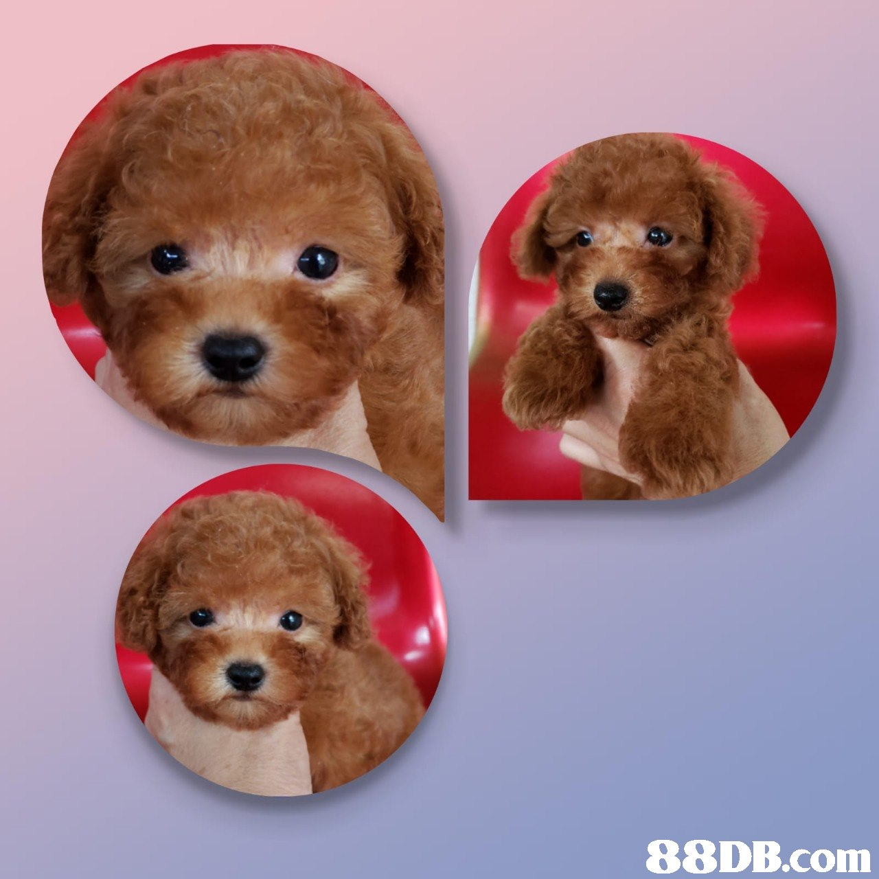 dog,dog like mammal,dog breed,toy poodle,miniature poodle