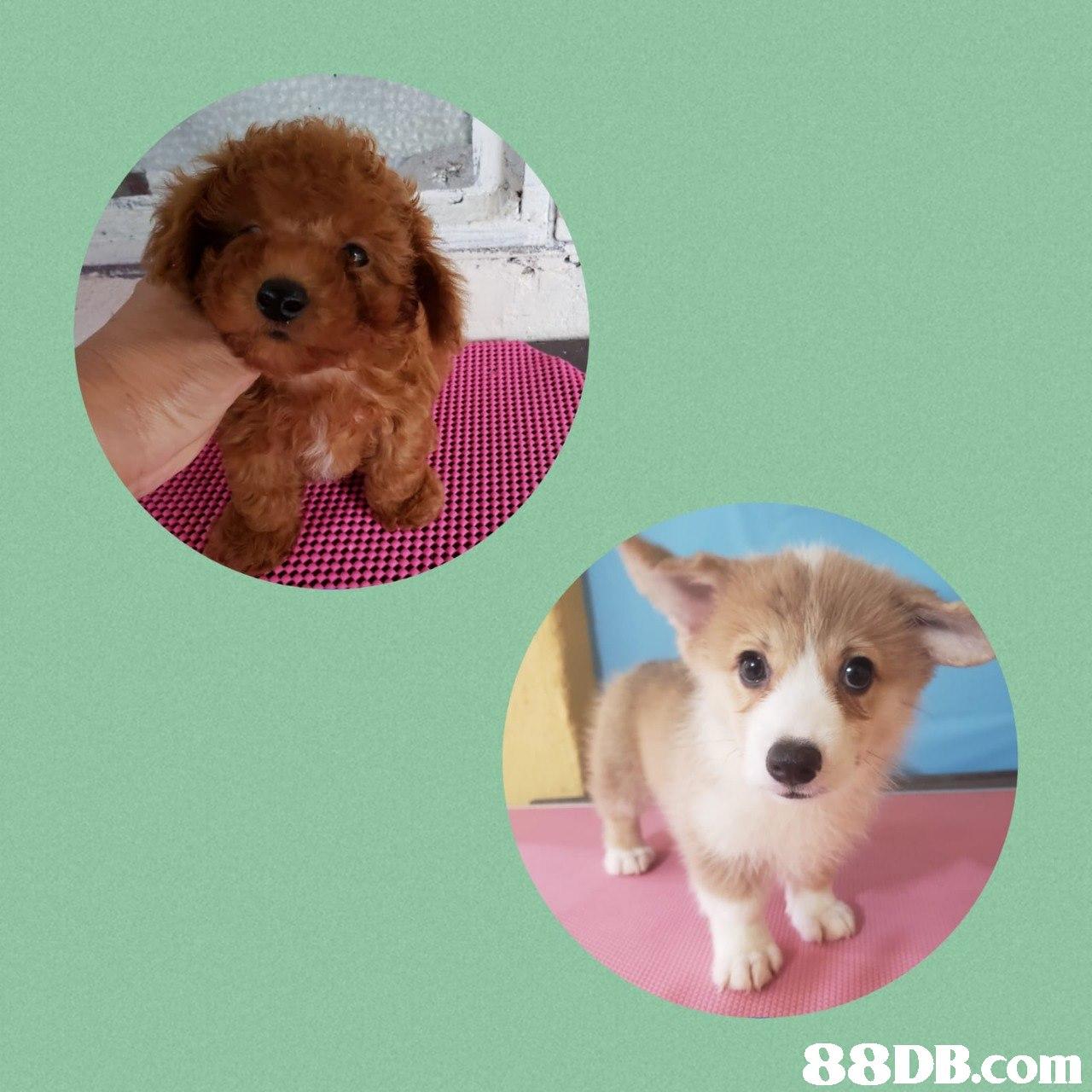 dog,dog like mammal,dog breed,puppy,dog breed group