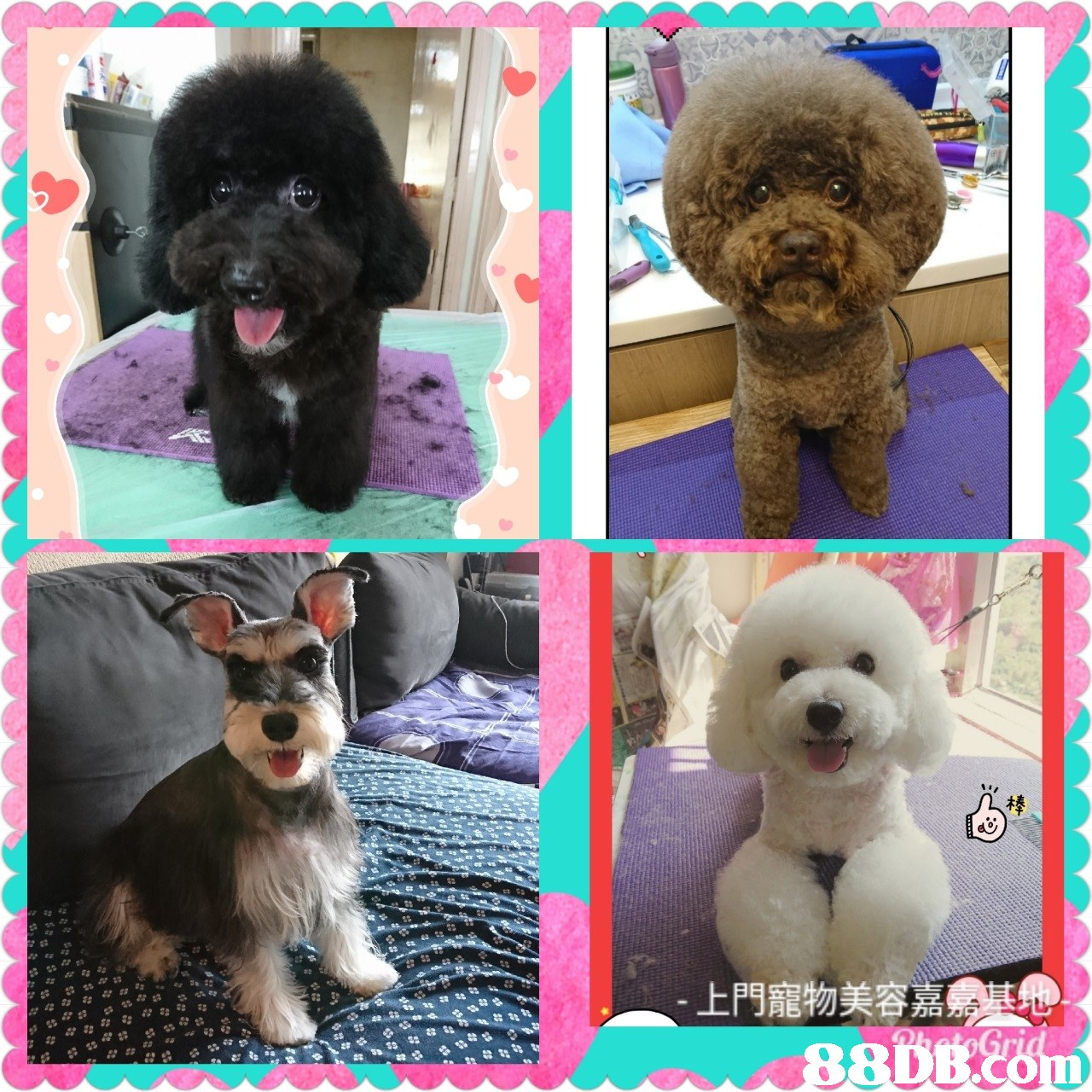 上門寵物美容嘉  dog,dog like mammal,dog breed,dog breed group,poodle