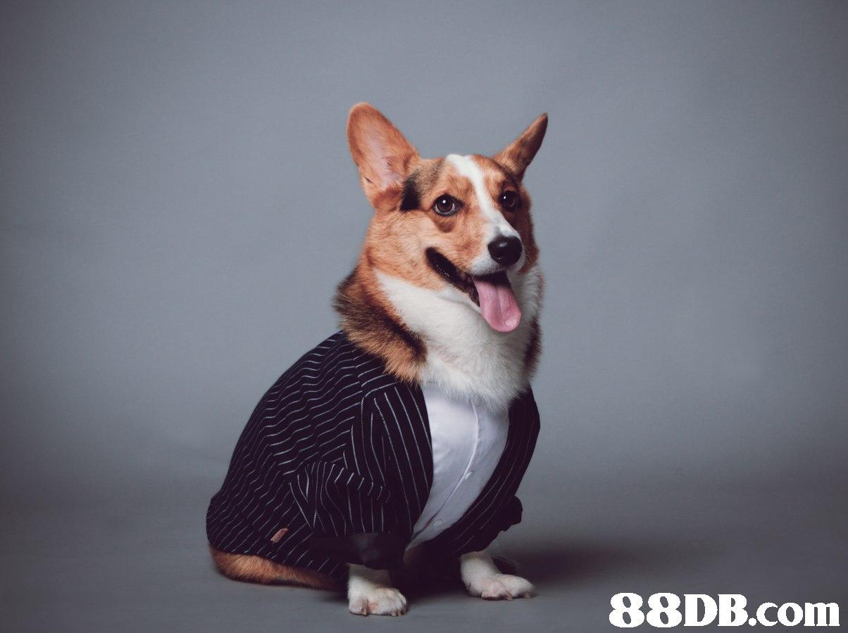 88DB.com  dog
