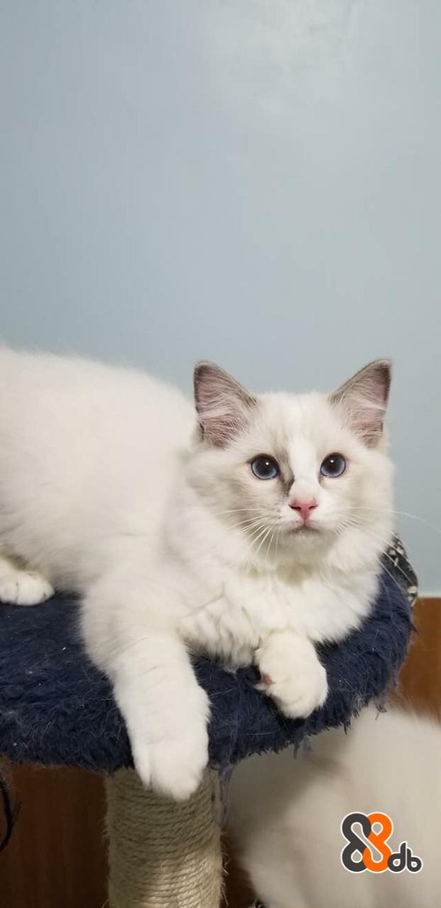 cat,small to medium sized cats,cat like mammal,vertebrate,whiskers