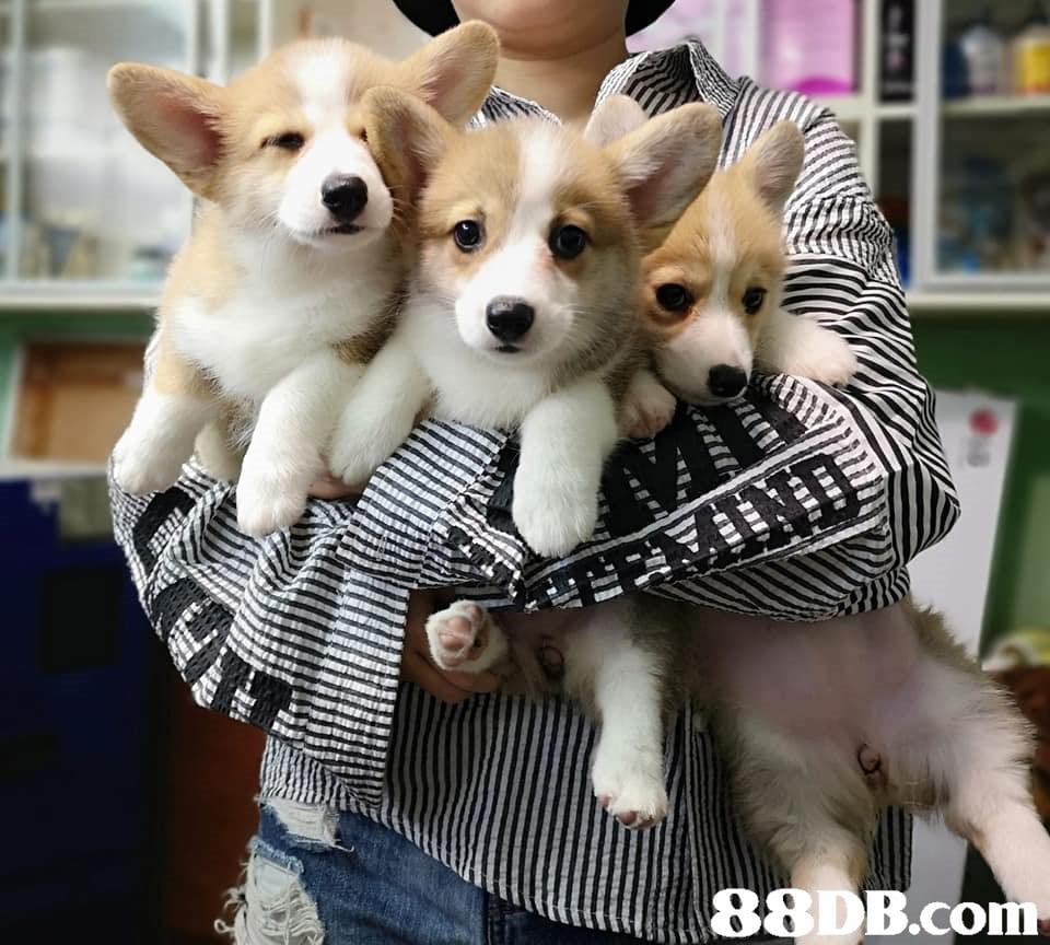 dog,dog like mammal,dog breed,dog breed group,welsh corgi