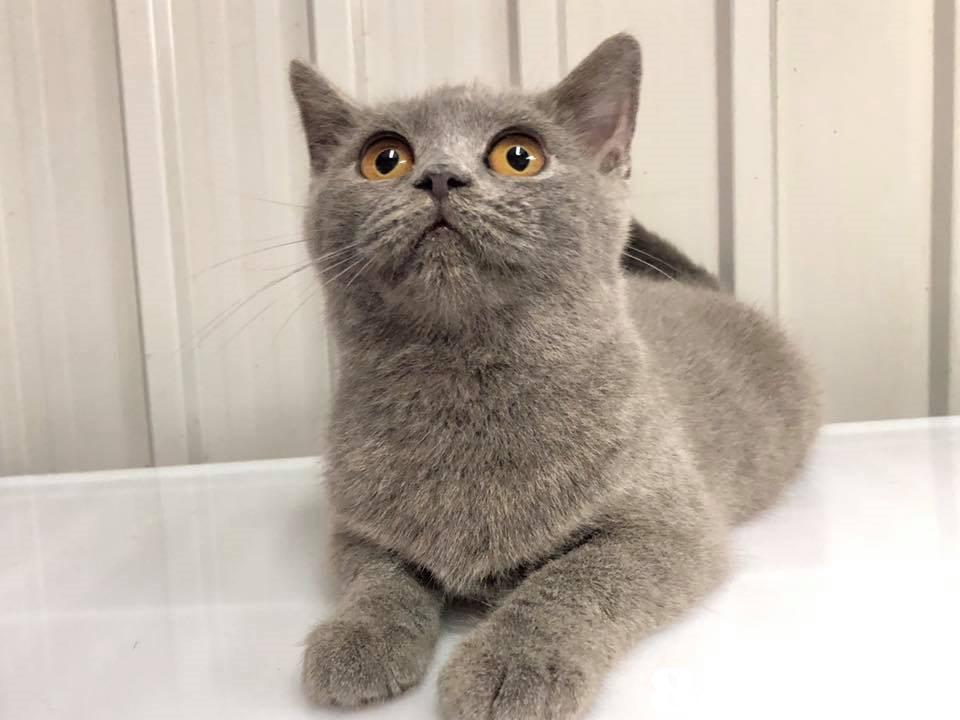 cat,mammal,small to medium sized cats,cat like mammal,korat